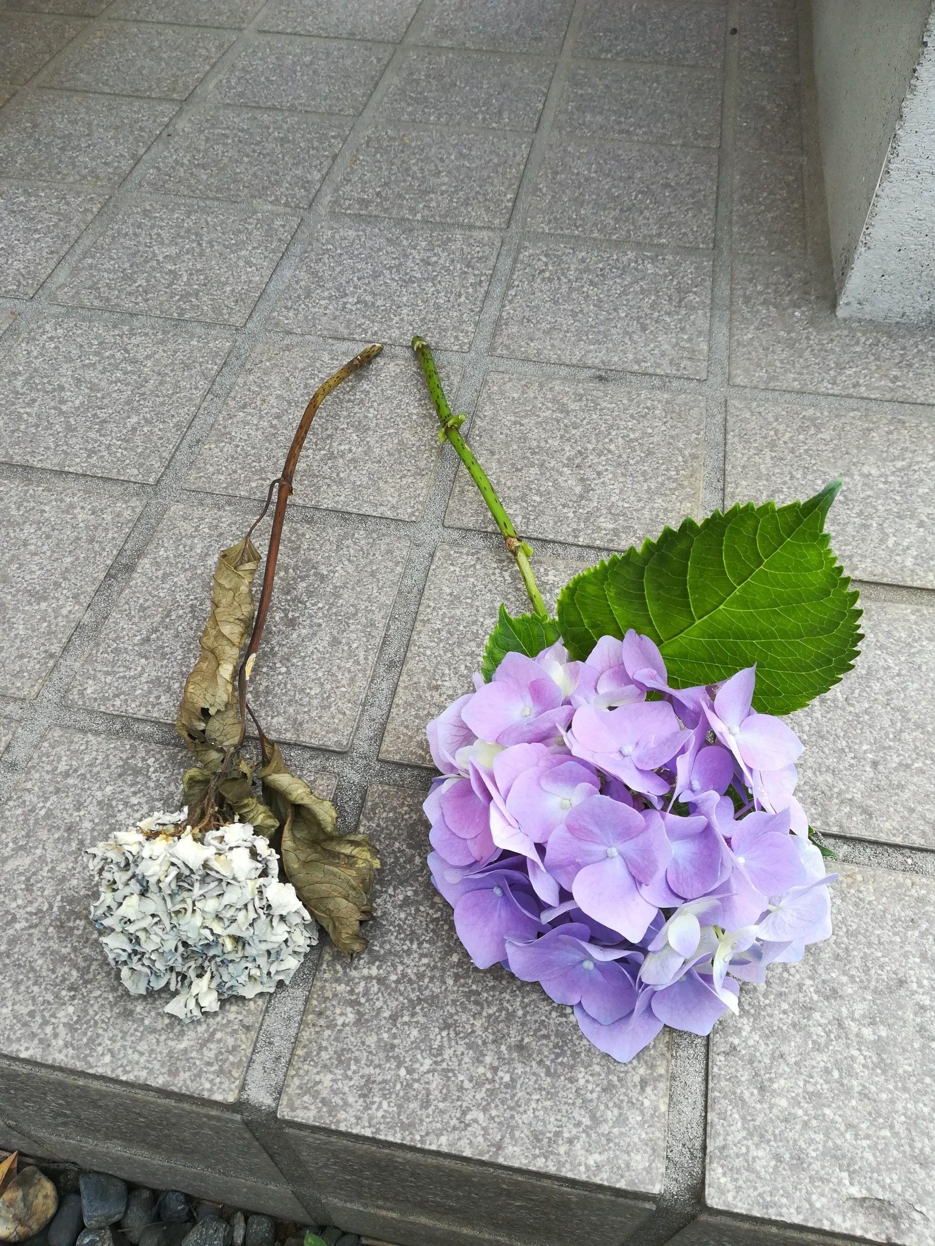 紫陽花 の おまじない