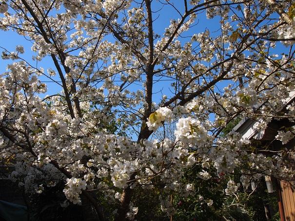2014年4月 我が家の桜.jpg