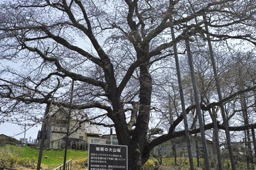 8大桜見上げる.jpg