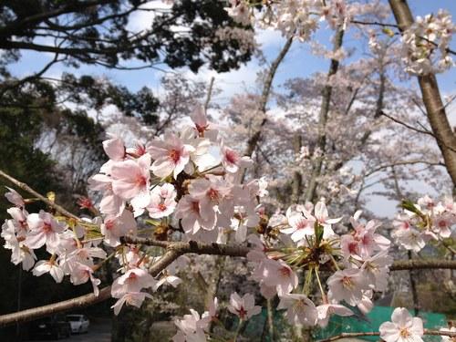 2ソメイヨシノ桜5002.jpg