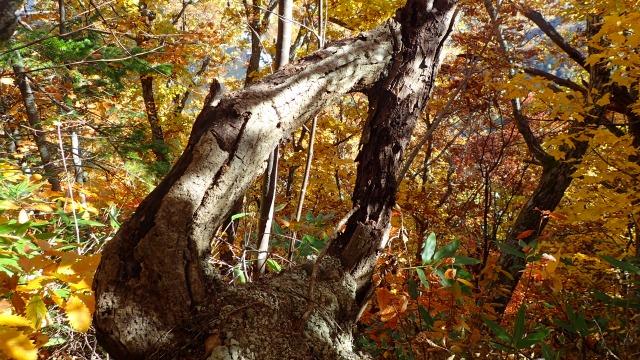 PA181340 12:33不思議な樹.jpg