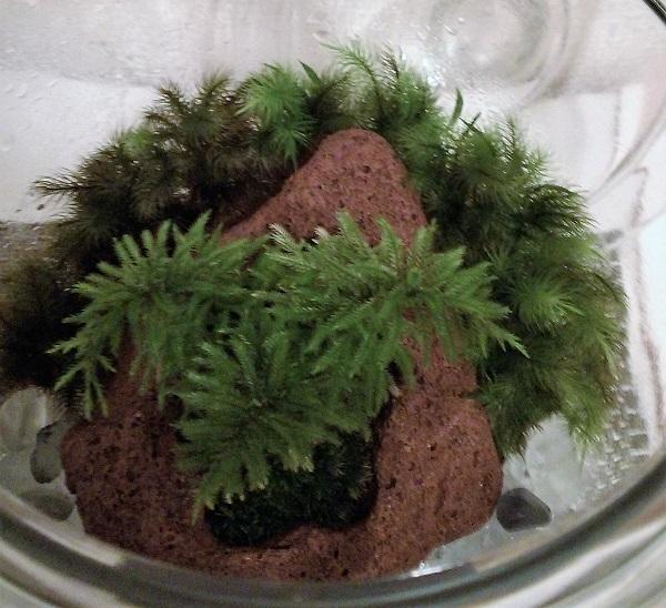 上から見た苔テラリウム(コウヤノマンネングサ盆栽) 10,2