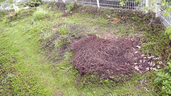 東の庭 剪定して枯れたイワダレソウ