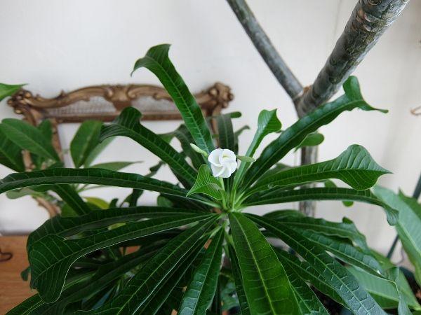プルメリア プディカ 花 つぼみ 蕾 開花