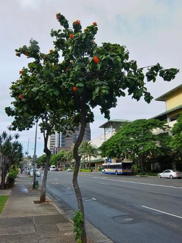 街路樹 ハワイ インコ