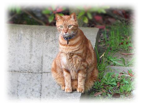 猫待顔のコッタ