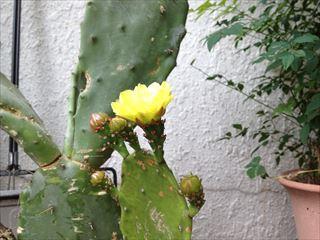 サボテン黄色1