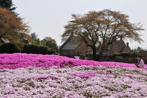 shibazakura2013_d.JPG