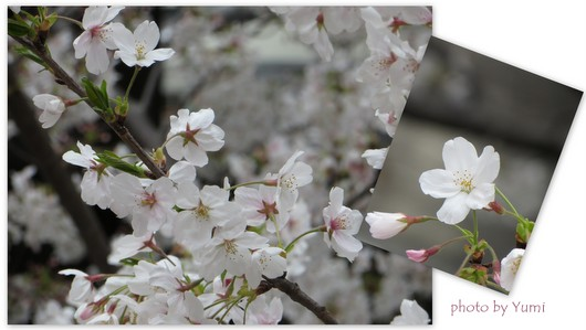 お花見2013中目黒編4.jpg