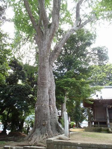 20130526 五霊神社の大銀杏