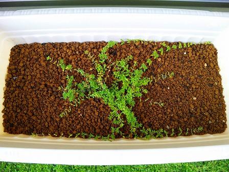 鉢植えのロンギカウリスの成長具合1