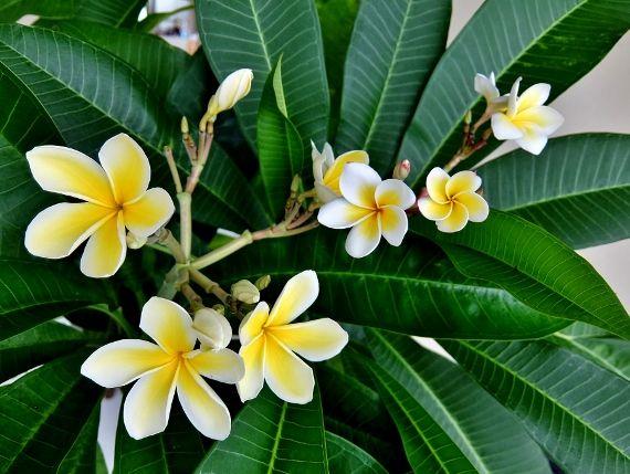プルメリア ベランダ 鉢 花 開花 ルーブラ ルブラ種