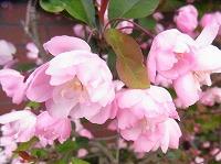 秋海棠の花言葉を詳しく!恋わずらいのメッセージ …