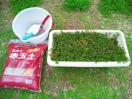 ロンギカウリス鉢からの株分け2