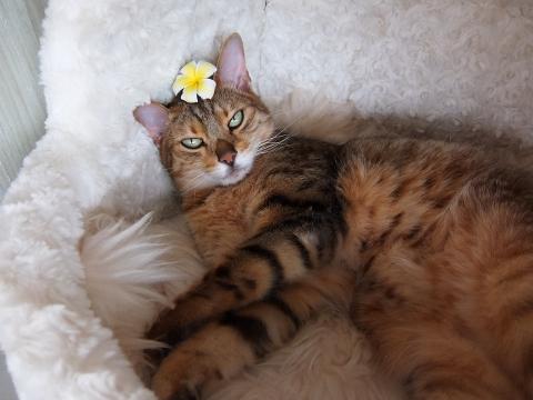 プルメリアと猫