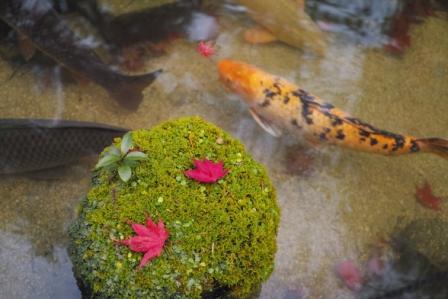 鯉苔紅葉.JPG
