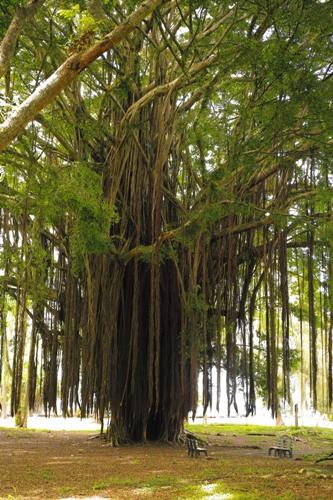 巨木3.JPG