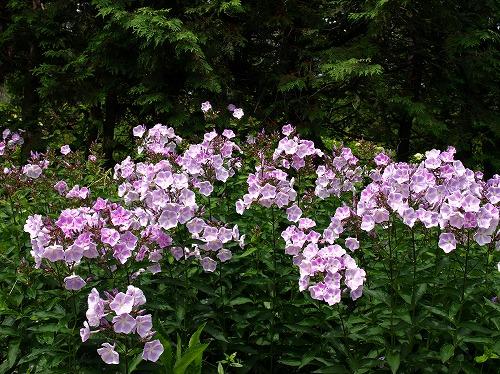 2012紫竹・フロックス.jpg