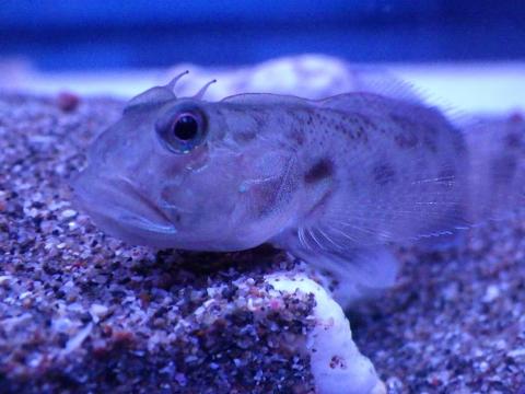 カマヒレマツゲハゼ(Oxyurichthys cornutus)4