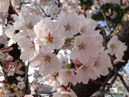 2天理3月30日桜450.jpg