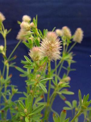 トリフォニウム花