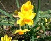 黄色の水仙.jpg