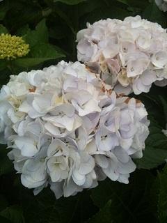 土門拳記念館 紫陽花 2012 6