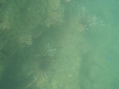 沖縄磯採集2013年7月下旬28 ハナミノカサゴ(Pterois volitans)