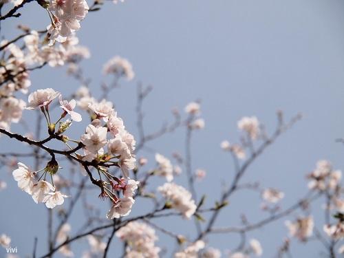 2014 桜 さくら 花見 お花見 写真 画像