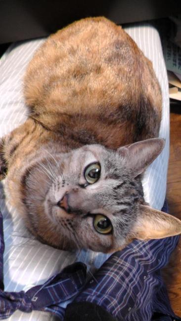 膝に乗って邪魔する猫