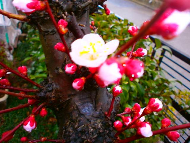 花桃の開花3.4