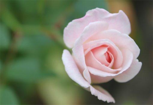 ピンクアイスバーグ.jpg