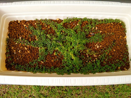 鉢植えロンギカウリスの秋1