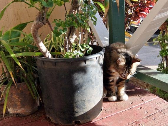 ハワイ シュガーミル Kahuku Sugar Mill Hawaii ノース 猫