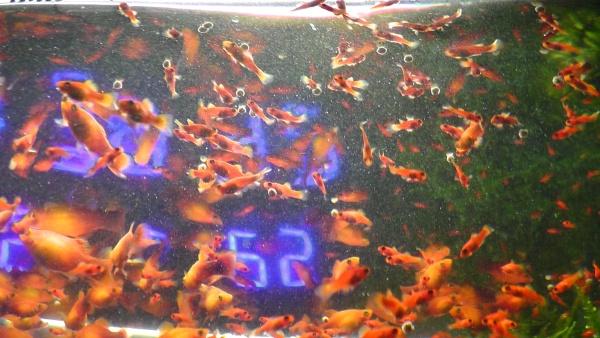 金魚のエサを食べるサンセットプラティ