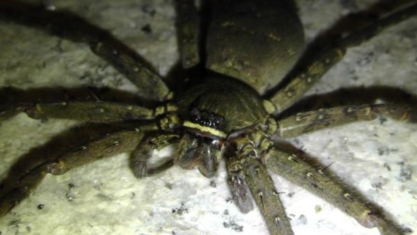 玄関ポーチに現れたアシダカグモ 脚高蜘蛛