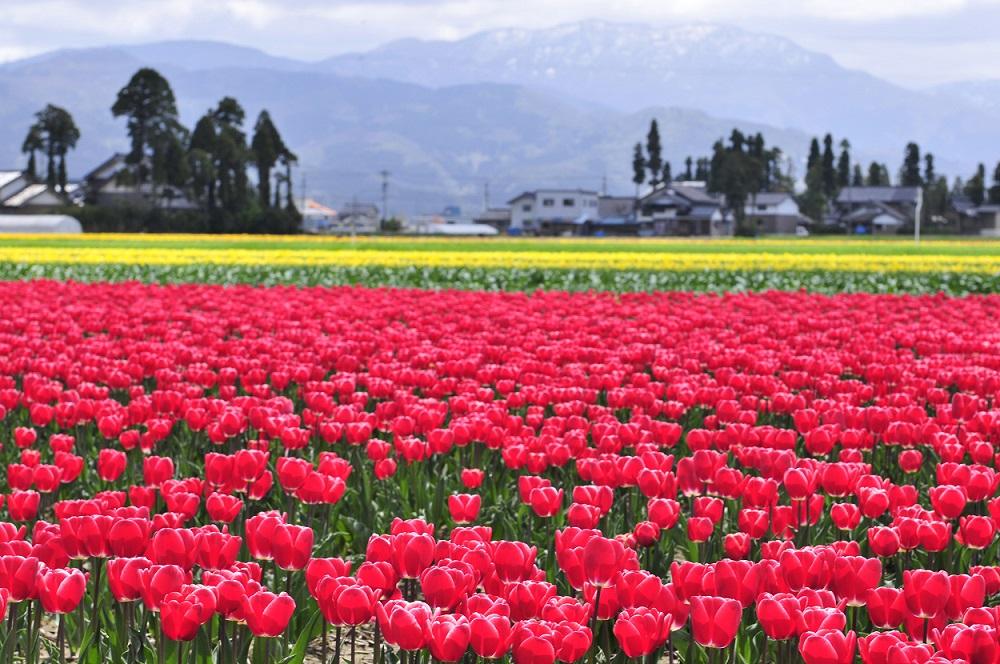 tulip002.jpg