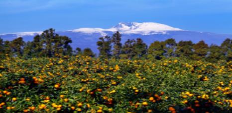 みかん畑からみるハンラ山