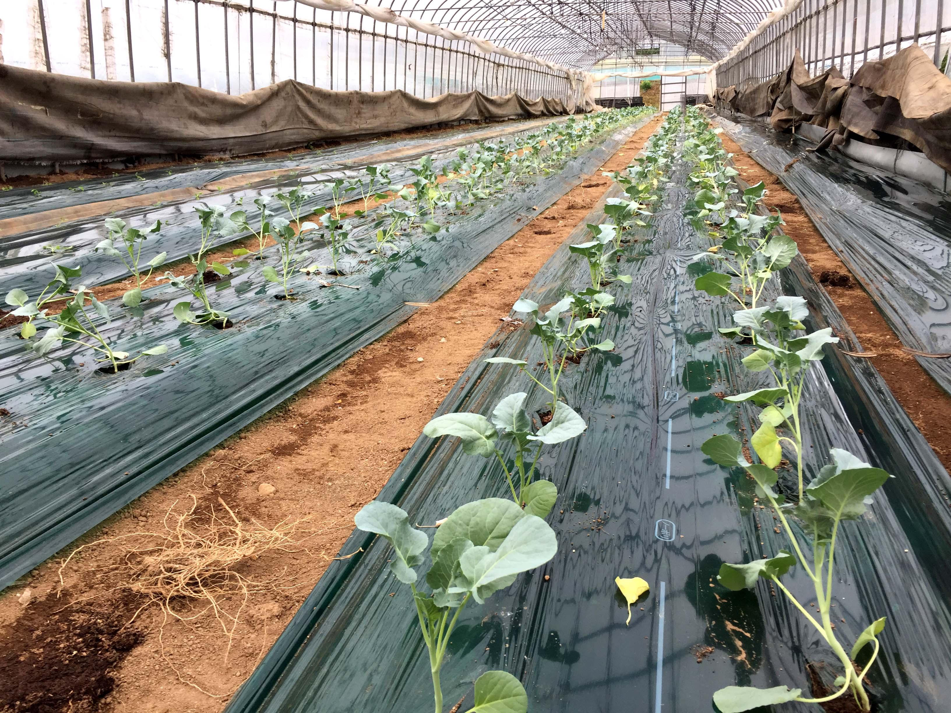 菜 栽培 アスパラ