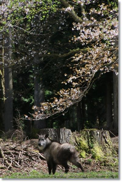 樹木公園-51 ニホンカモシカ-6 16.4.9