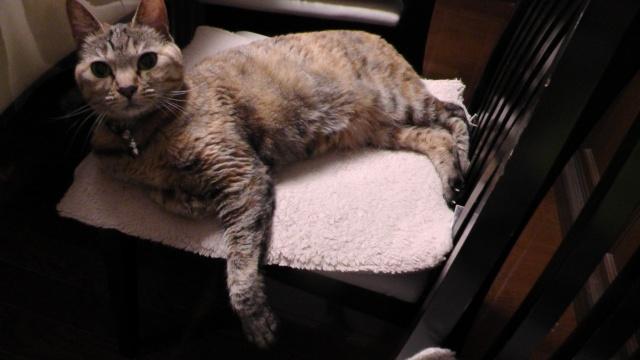 椅子の上で、横柄な態度に見える猫