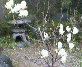 庭のモクレンも例年になく遅咲きでした・・・。