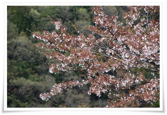 吉野山-25 残った桜 16.4.12