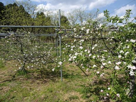 P4250001りんごの開花.JPG