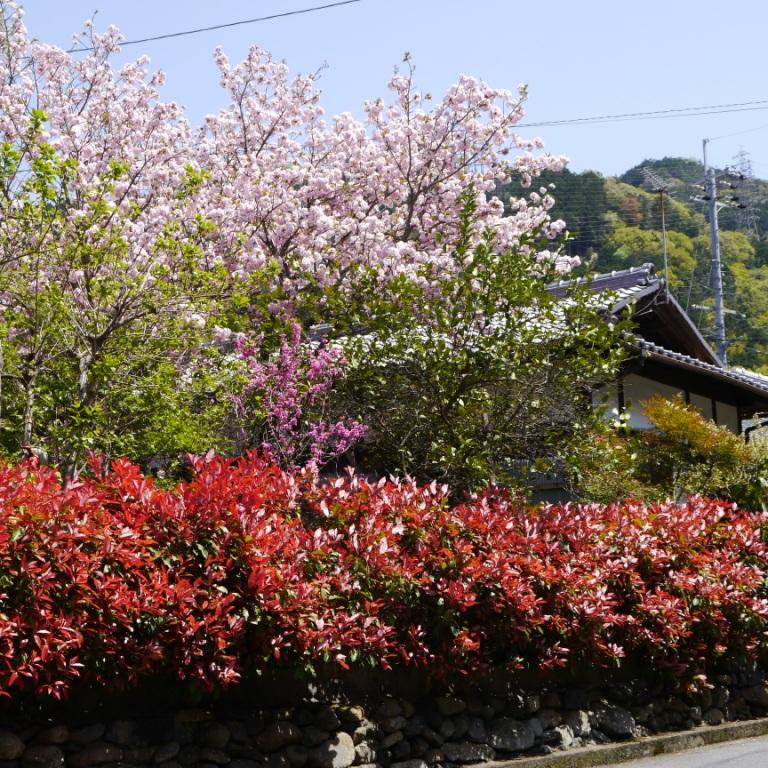 P1060956(桜).jpg