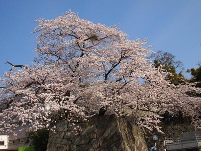 2013年4月 彦根城お堀の桜.jpg