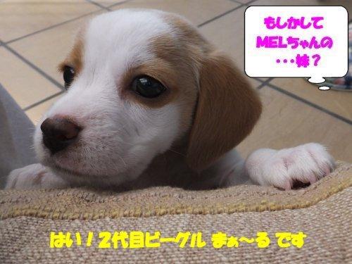 20140512 2代目ビーグルまぁ~る