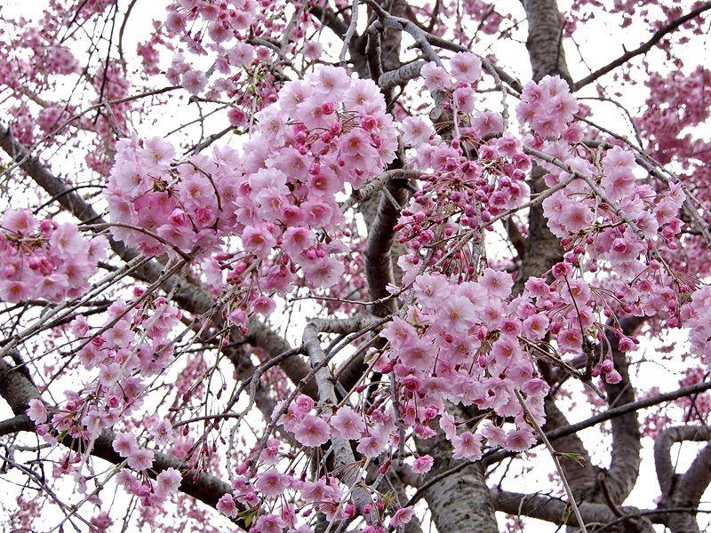八重枝垂れ桜1