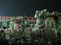 night rose 01.jpg