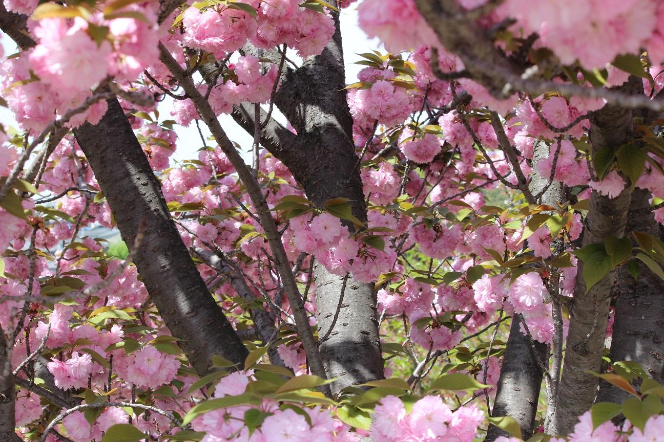 公園の八重桜2